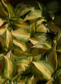 Hosta 'Great Expectation'