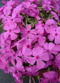 Phlox subulata 'MacDaniel's Cushion'