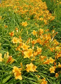 Hemerocallis 'Tiny Miss'