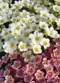 Saxifraga 'Touran Large White'