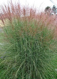 Miscanthus sinensis 'Morning Lights'