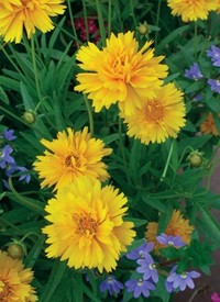 Coreopsis grandiflora 'Early Sunrise'