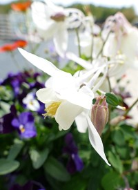 Aquilegia 'Spring Magic White'