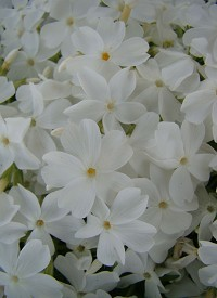 Phlox subulata 'White Delight'