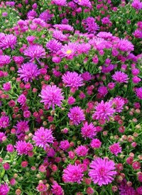 Aster dumosus 'Purple Diamond'