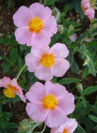Helianthemum 'Lawrenson's Pink'