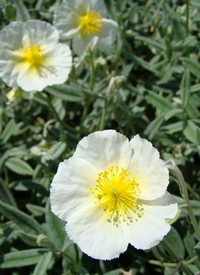 Helianthemum 'The Bride' ('Snow Queen')