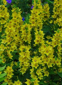 Lysimachia punctata 'Hometown Hero'