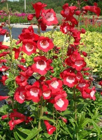 Penstemon hartwegii 'Phoenix Red'
