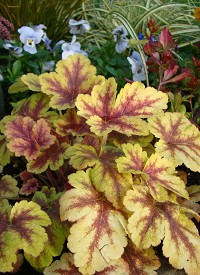 Heucherella (x) 'Golden Zebra'