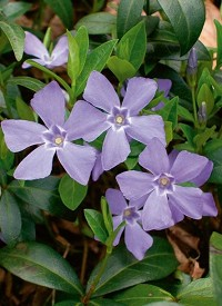 Vinca minor 'Bowles'