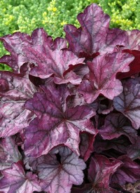 Heuchera 'Plum Royal'