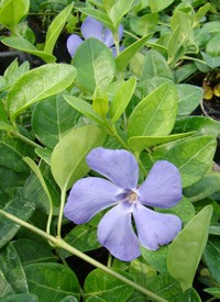 Vinca minor 'Flower Power'