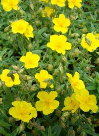 Helianthemum 'Golden Queen'