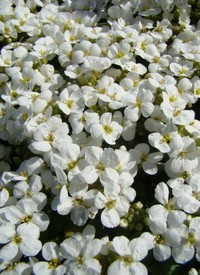 Arabis caucasica 'Little Treasure White'