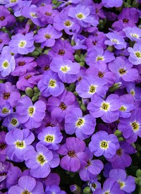 Aubrieta 'Axcent Violet with Eye'