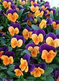 Viola cornuta Twix F1 'Orange Purple Wing'