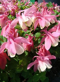 Aquilegia flabellata 'Cameo Rose and White'