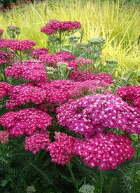 Achillea millefolium 'Saucy Seduction'