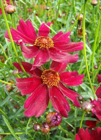 Coreopsis verticillata 'Ruby Red'