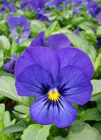Viola cornuta Twix F1 'Blue with Eye'