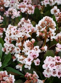 Bergenia 'Angel Kiss'