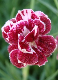 Dianthus gratianopolitanus 'Whatfield Gem'