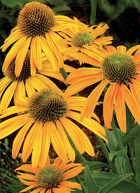 Echinacea purpurea 'Now Cheesier'