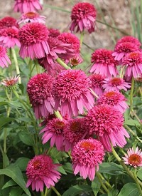 Echinacea purpurea 'Secret Affair'