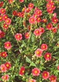 Helianthemum 'Mette'