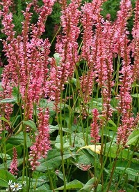 Persicaria amplexicaulis 'Orange Field'