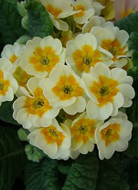 Primula veris 'Lime with Orange'