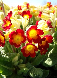 Primula veris 'Orange with Yellow'