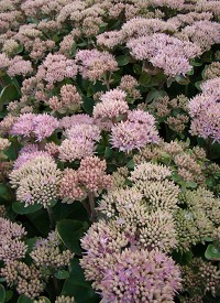 Sedum telephium 'Seduction Green-Pink'