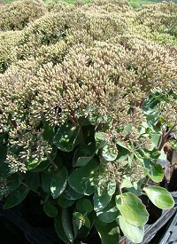 Sedum telephium 'Seduction Green-Yellow'