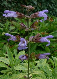 Salvia officinalis 'Aurea'