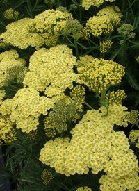 Achillea millefolium 'Summer Fruits Lemon'