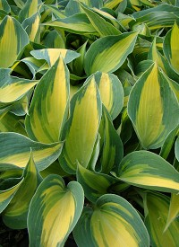 Hosta 'Catherine'