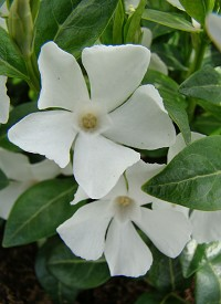 Vinca minor 'White Power'
