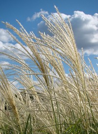 Miscanthus sinensis 'Herman Mussel'