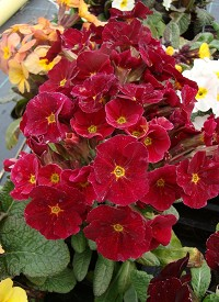 Primula veris 'Goldnugget Red'