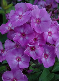 Phlox paniculata 'Sweet Summer Temptation'