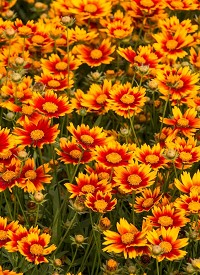 Coreopsis 'Little Bang Day Break'