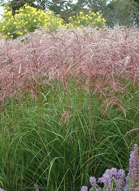 Miscanthus sinensis 'Red Wine'