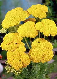 Achillea filipendula  'Cloth of Gold'