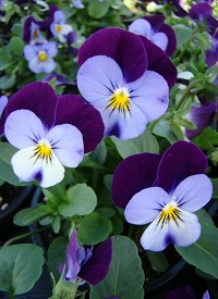 Viola cornuta Twix F1 'Blue Purple Wing'