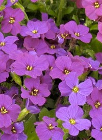 Aubrieta 'Audrey Purple Shades'