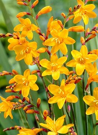 Crocosmia 'Sunglow'