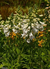 Digitalis purpurea 'Dalmatian White'
