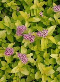 Spirea japonica 'Golden Princess'